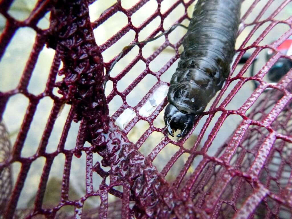 Angler entdeckt seltene Larve des großen Kolbenwasserkäfers
