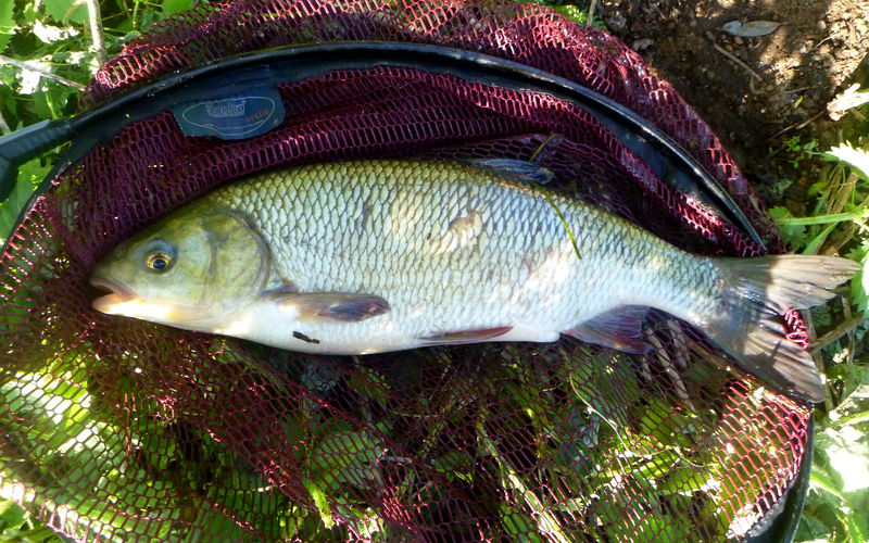 Fische lassen sich durch Farben im Futter besser anlocken