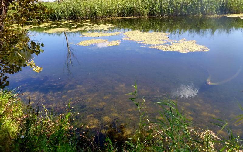 Schleien laichen am pflanzenreichen Ufer