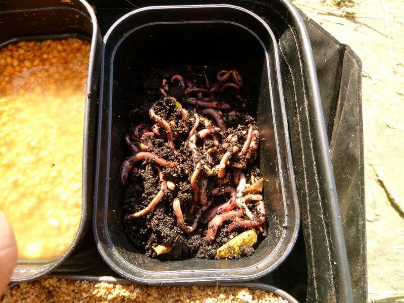 Würmer sind der beste Köder für Brassen