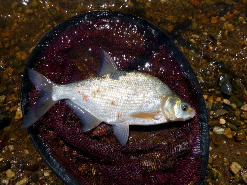 gefangener Brassen beim Feederangeln am Fluss mit Paniermehl