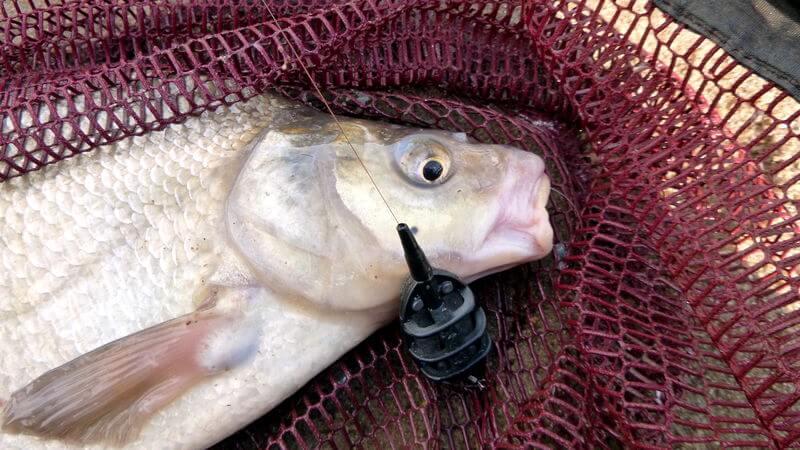 gefangene Brasse mit dem Method Feeder aus einem Fluss