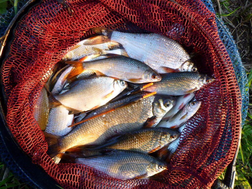 gefangene Fische nach einem Angeltag im April
