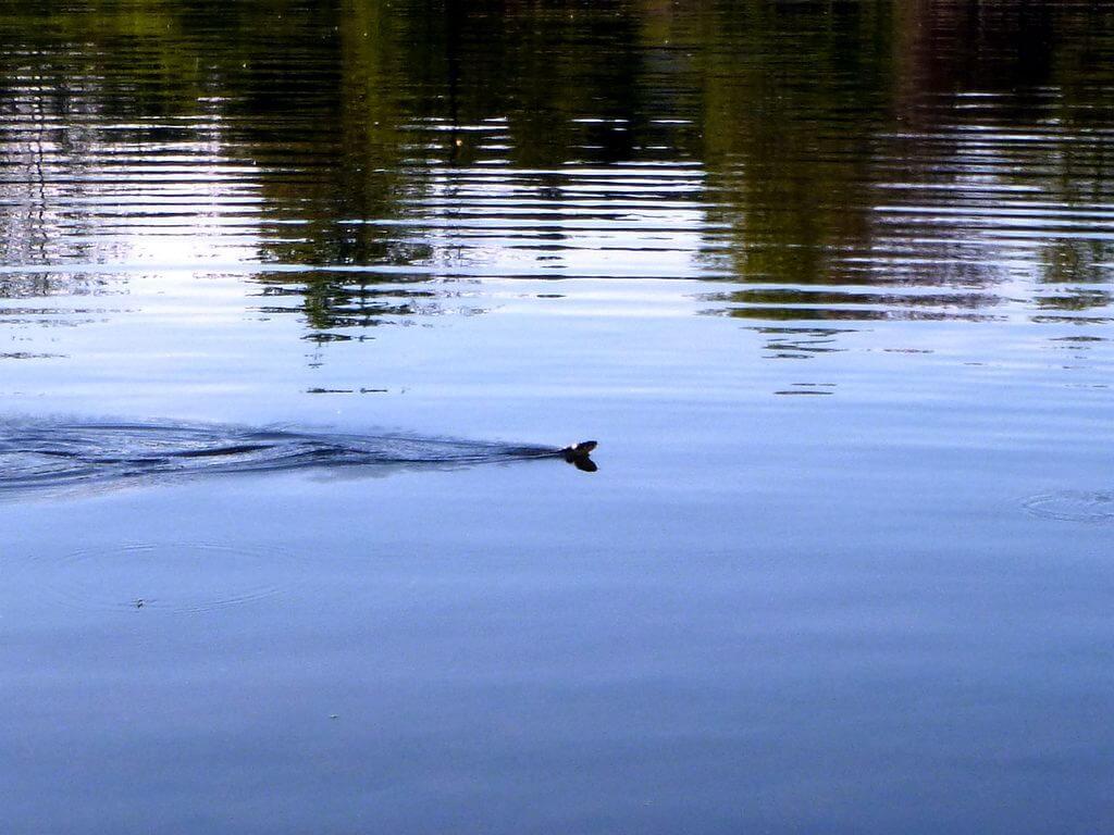 Schlange schwimmt durch den See bei der Gewässererkundung