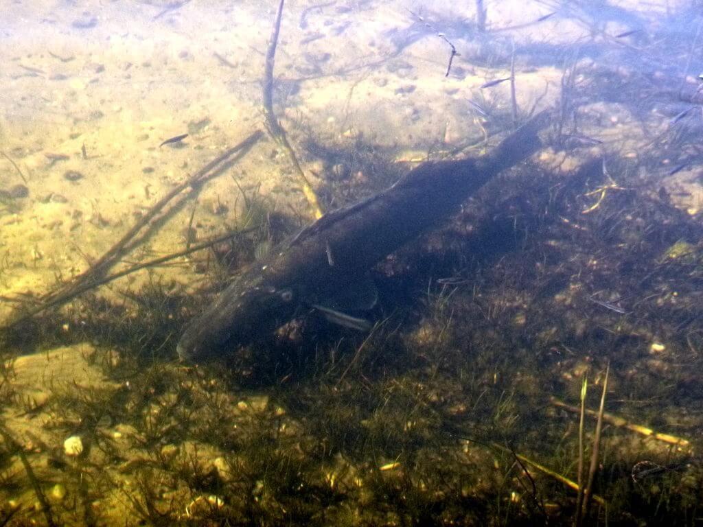 Zandernest im Flachwasser direkt am Ufer
